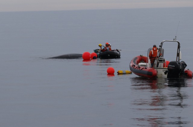 Rescuers Free Humpback Whale From Fishing Gear Off Washington Coast