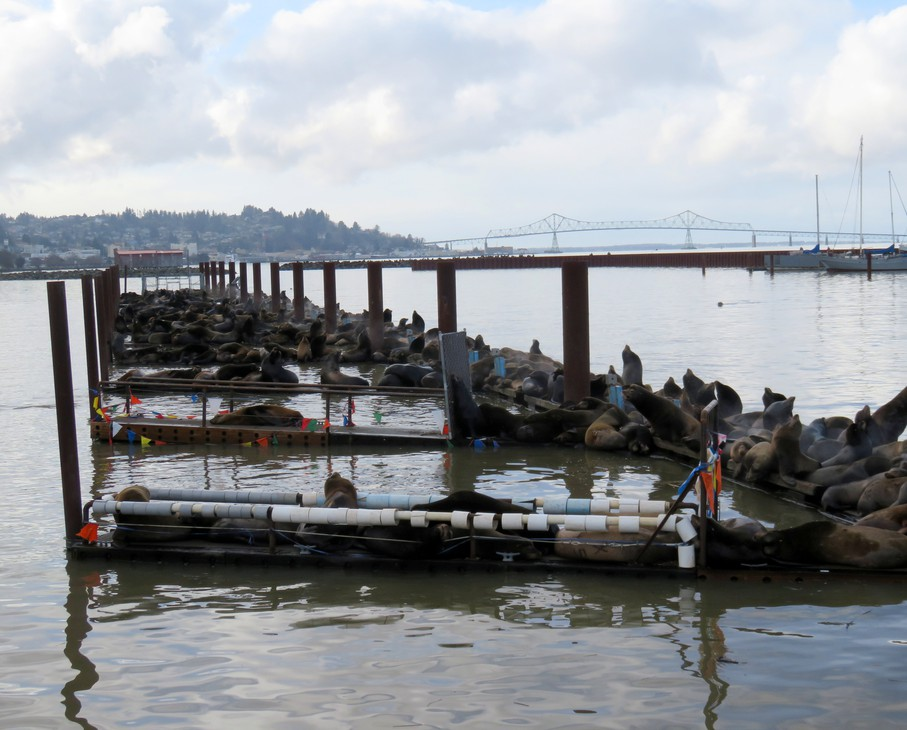 The low rail on the finger piers in foreground worked for a while to deter sea lions at the Port of Astoria's East Mooring Basin, but not anymore.