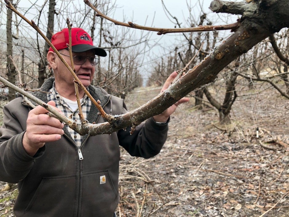 Eric Olson, 75, of Selah, Wash., points out the fruiting wood on his cherry tree. Pruning helps to open the canopy so the fruit can ripen well, and cuts back on fast-growing branches called suckers that can sap the tree's energy away from the valuable fruit.