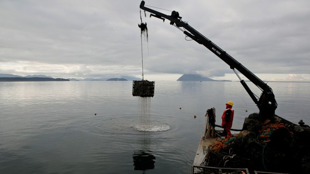 Taylor Shellfish crews haul up oysters from Samish Bay, Washington. The Northwest's shellfish industry is one of the first to feel the impacts of ocean acidification.