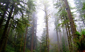 A grove of fir trees at the Elliott State Forest.