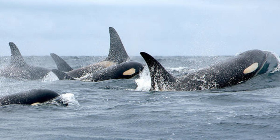 The population of endangered southern resident killer whales has dwindled to 76 individuals as of early 2018.