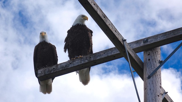 Bald eagles rest on roosts at Tule Lake.  Farmers say real eagles can help drive destructive geese out of fields.