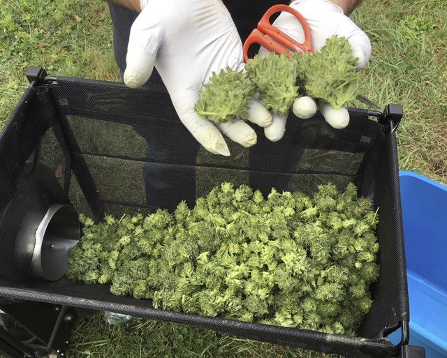 In this Sept. 30, 2016, file photo, a marijuana harvester examines buds going through a trimming machine near Corvallis, Ore.