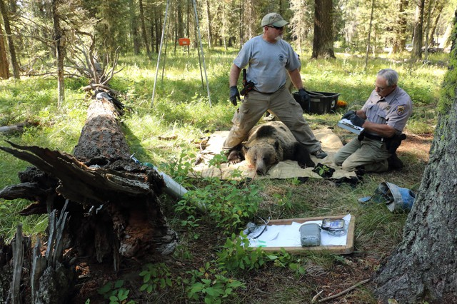 The grizzly bear population in the Greater Yellowstone Ecosystem grew from less than 200 bears in the 1980s to more than 1,000 today. Ten percent of those bears wear GPS collars.