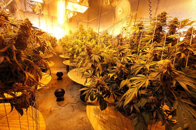 Marijuana growing operations use as much electricity per square foot as data centers.