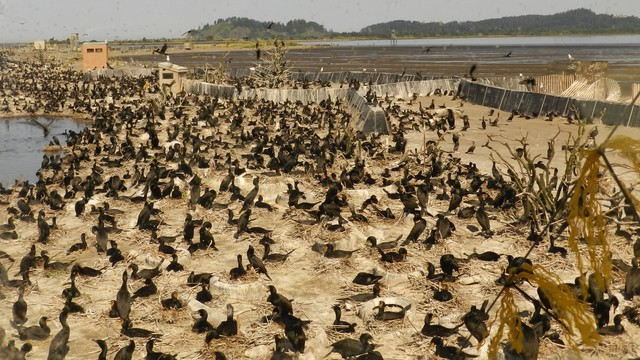 Nearly 30,000 cormorants are nesting on East Sand Island at the mouth of the Columbia River and eating millions of protected salmon and steelhead.