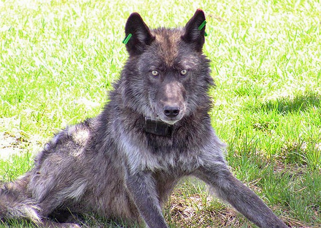 A gray wolf that's been tagged by Oregon wildlife officials.