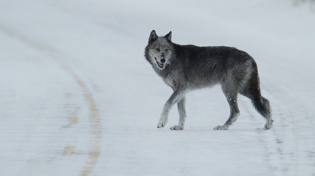 File photo of a wolf in Yellowstone National Park in Wyoming.