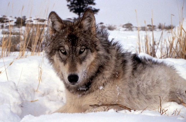 The Oregon Court of Appeals will reconsider a lawsuit against the state over its decision to remove the gray wolf from the state's endangered species list.