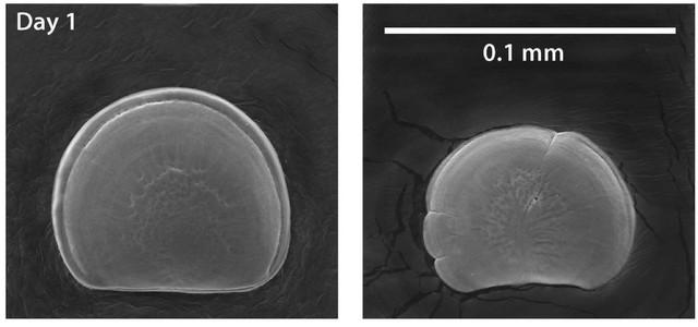 This image shows 1-day old Pacific oyster larvae from the same parents, raised by the Taylors Shellfish Hatchery in natural waters of Dabob Bay, Wash. The larvae on the left were reared in favorable carbonate chemistry; on the right in unfavorable chemistry.
