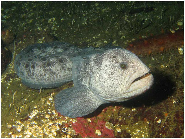 Wolf Eel (photo credit: Dan Hershman)
