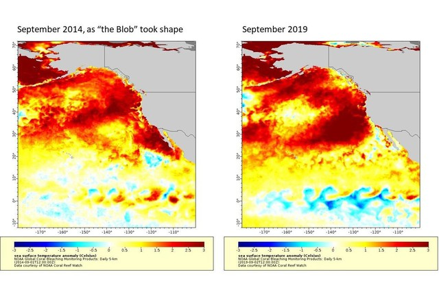 "This map of sea surface temperatures illustrates the new marine heatwave off the West Coast as compared with ""the blob"" of 2014-15. Darker red denotes temperatures farther above average. The highest temperatures shown are more than 5 degrees Fahrenheit above average."