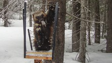 A wolverine triggers a remote camera in the Wallowa Mountains.