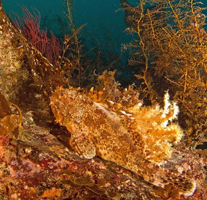 Scorpionfish are one of dozens of species that live on the bottom of the Pacific Ocean and get caught in groundfish trawl nets.