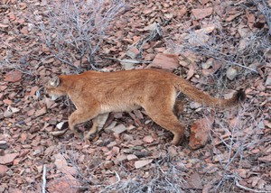 A cougar is seen walking through the woods during ODFW big game surveys in the mid-2000s. Officials with the ODFW euthanized a male cougar Tuesday, March 20, 2018, after the cougar was found inside a motel complex in The Dalles.