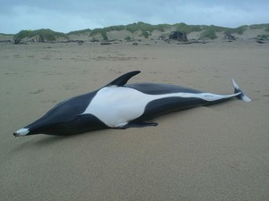 A right whale dolphin turned up last Friday on Manzanita Beach. Researchers at Portland State University are conducting tests to determine how the animal died.