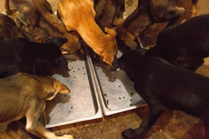 Thad McCracken's puppies scoop up the last bits of food from their morning meal.