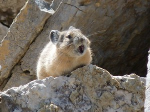 American pika making its distinctive call.