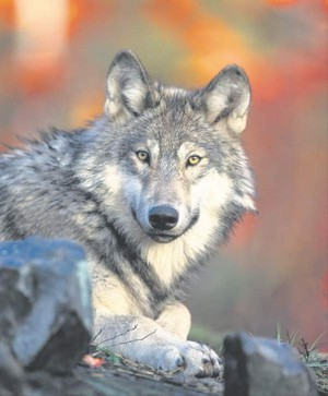 A gray wolf is pictured in this undated file photo.