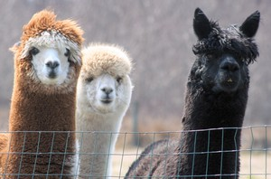 These alpacas were not attacked by wolves. They're just here for illustrative purposes.