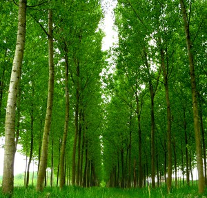 Poplar trees that help clean up toxic waste can stand to benefit from probiotics, according to new research.
