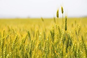 Wheat turns from green to golden in a field outside Mission, Oregon.