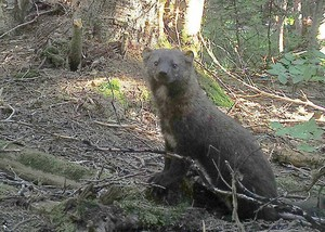 A trail camera photo of a reintroduced fisher in Washington's South Cascades.