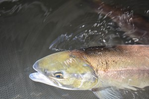 An adult sockeye salmon that returned to the lower Deschutes River.