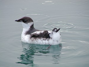A juvenille marbeled murrelet. The Fish and Wildlife Service estimates their population is declining 3.7 percent a year.
