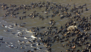 Thousands of sea lions gather on a beach north of Heceta Head Lighthouse Viewpoint north of Florence, Oregon.