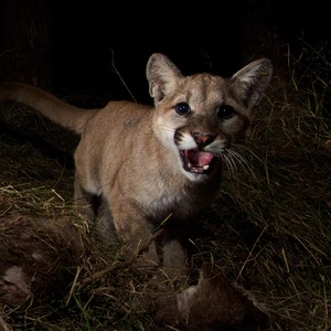 A 10-month-old cougar is startled by a trail camera in the California mountains. The Oregon Department of Fish and Wildlife includes juvenile cougars in their total population estimates.