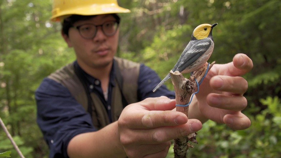 OSU PhD student Hankyu Kim set a decoy designed to trigger the territorial instinct of hermit warblers. The small songbirds will be caught, tagged and released so their movements can be tracked.