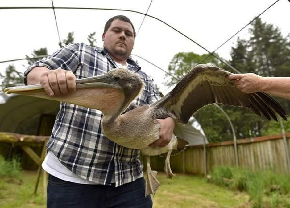 Josh Saranpaa, executive director of the Wildlife Center of the North Coast, holds a brown pelican treated at the facility.