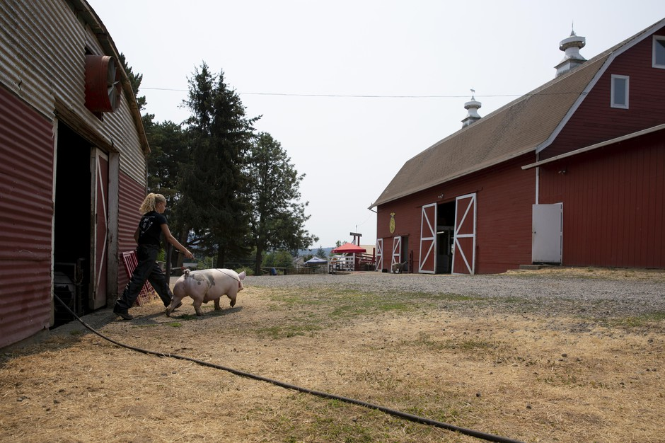 Erika Bergstrom steers her show pig, Louie to the wash stall at the North Clackamas Land Lab. It's one week before the county fair and Louie needs a bath and haircut.