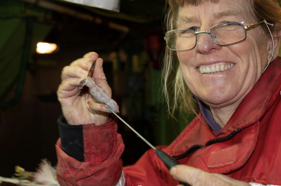 Laurie Weitkamp examining the stomach contents of a chum salmon.