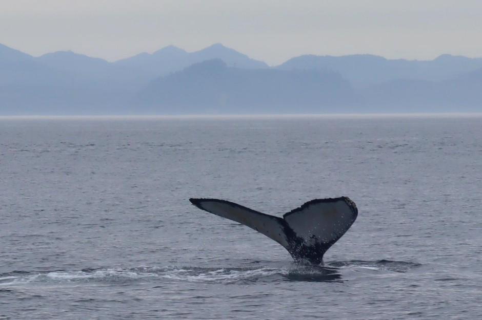 One of many humpback whales seen feeding in the Strait of Juan de Fuca on Aug. 10.