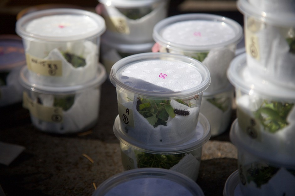 Dozens of takeout containers hold hundreds of silverspot caterpillars.
