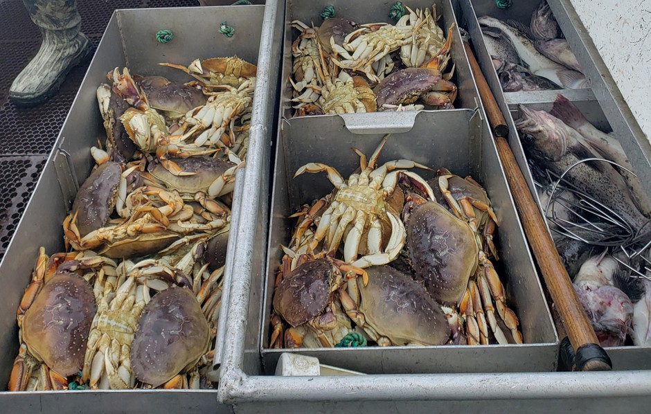 The Dungeness crab fishery generates about $170 million a year in revenue for the West Coast commercial fishing fleet.