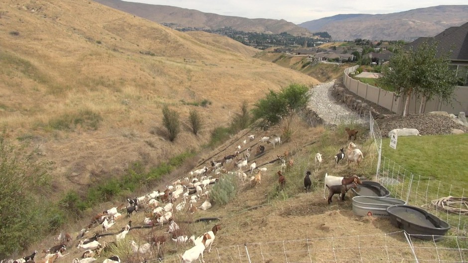 The goats eat grass all along this drainage on the western edge of Wenatchee.