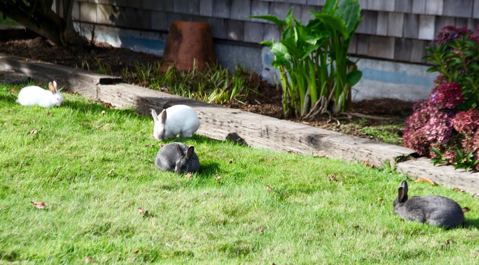 There are thousands of bunnies living in Cannon Beach. One resident said she counted 74 on one brief drive through town.