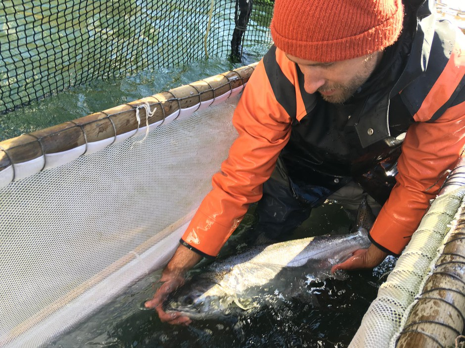 Fish trap operators can pick out the hatchery salmon for harvest and release the wild salmon so they can return to their spawning grounds.