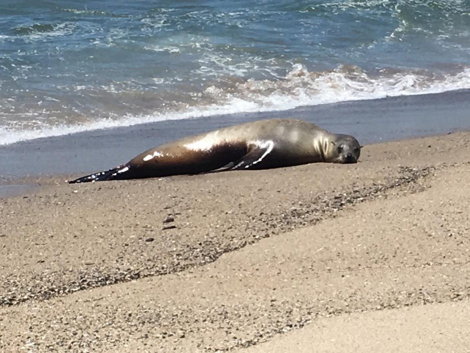 A California sea lion, named Charlie Winston, stranded on a beach in California. Severe cancer had spread throughout her body and made her too sick to swim.