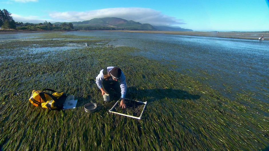 OSU researcher Caitlin Magel takes samples from an eelgrass bed in Netarts Bay, OR.