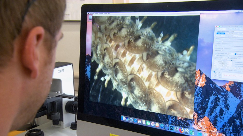 A student at the Oregon Institute of Marine Biology near Coos Bay studies the broom-like appendages that propel this segmented scale worm through the water.