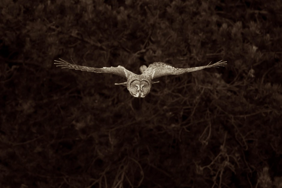 Ken Shults is taking his images of owls into the realm of fine art prints.