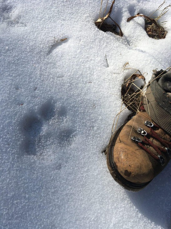 A wolf track in the snow, next to the reporter's right foot, found during an elk and deer hunt in central Idaho.