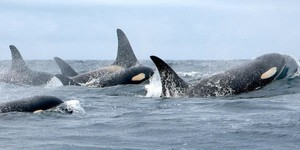 Members of Puget Sound's south resident orca population.