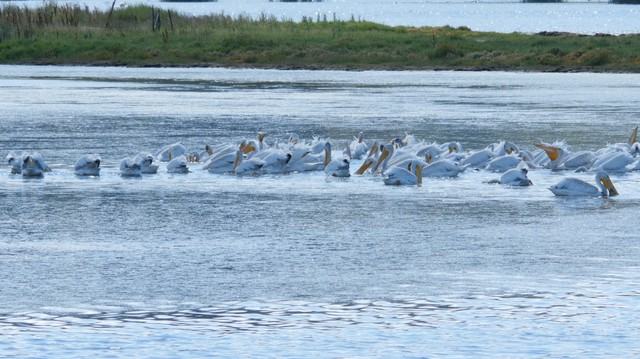 White pelicans aren't normally seen in Puget Sound and birders enthusiasts are trying to find out where these pelicans are visiting from.