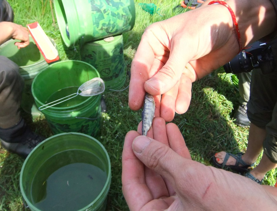 A juvenile chinook salmon from the Klamath River shows signs of parasitic infection and disease.